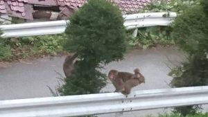 塩沢温泉七峰館、おさるも紅葉狩り!